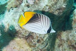 BD-120422-St-Johns-6021-Chaetodon-auriga.-Forsskål.-1775-[Threadfin-butterflyfish.-Flaggfisk].jpg